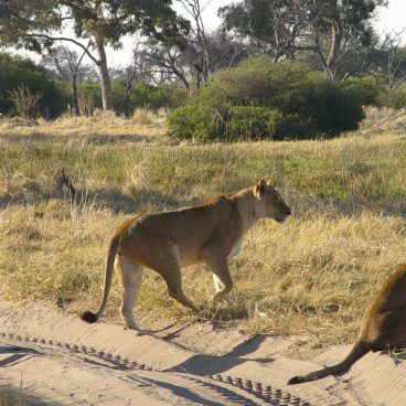 Botswana Selfdrive leeuwen in Moremi