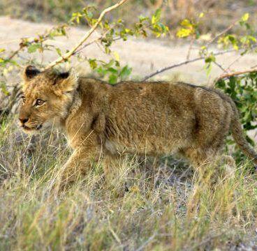 Leeuw bij Kongola