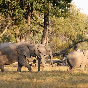 Elephants Moremi