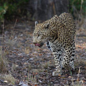 Luipaard Moremi Game Reserve