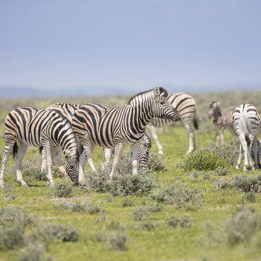 Zebra Okaukuejo Etosha Namibië