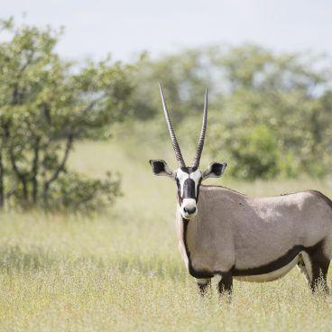 Gemsbok Etosha National Park