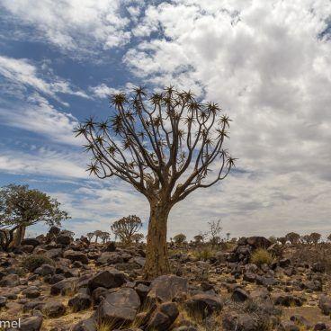 Kokerboom Namibië