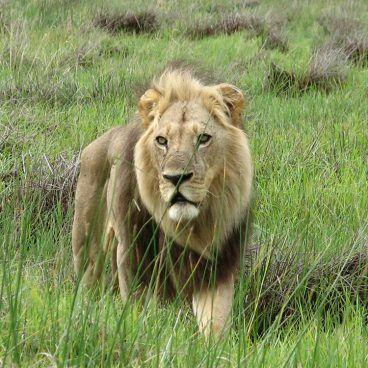 Lion Moremi