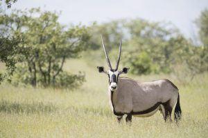 Gemsbok selfdrive Namibie