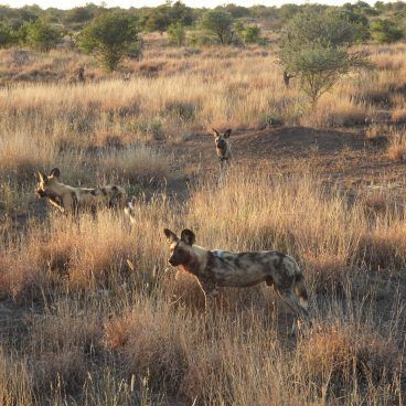 Kruger Park Wilddog
