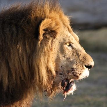 Leeuw Botswana